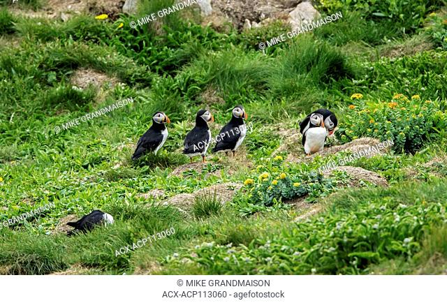 Atlantic puffins (Fratercula arctica) on ledge of cliff on the north Atlantic ocean. It is the official bird of Newfoundland and Labrador since 1992