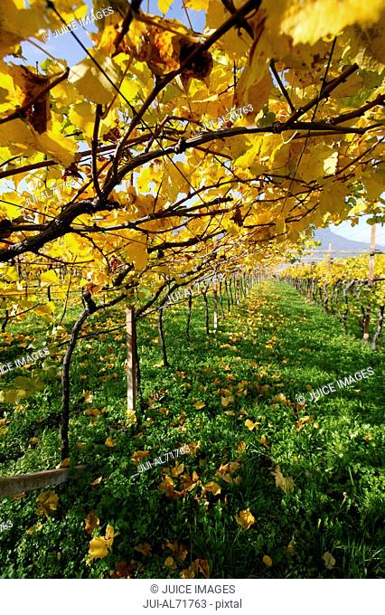 High angle view of a vineyard in autumn, Girlan, South Tyrol, Italy