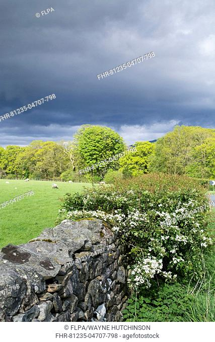 Drystone wall and Hawthorn (Crataegus sp.) flowering in hedgerow, with sheep grazing in pasture and rainclouds, Sedbergh, Cumbria, England, May