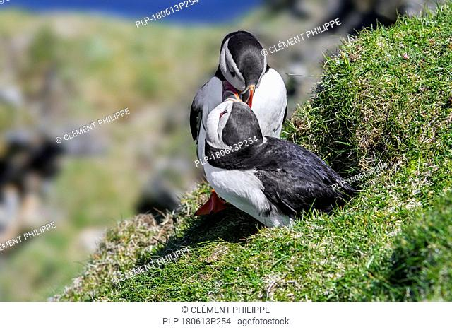Atlantic puffins (Fratercula arctica) billing in front of burrow on sea cliff top in seabird colony, Hermaness, Unst, Shetland Islands, Scotland, UK