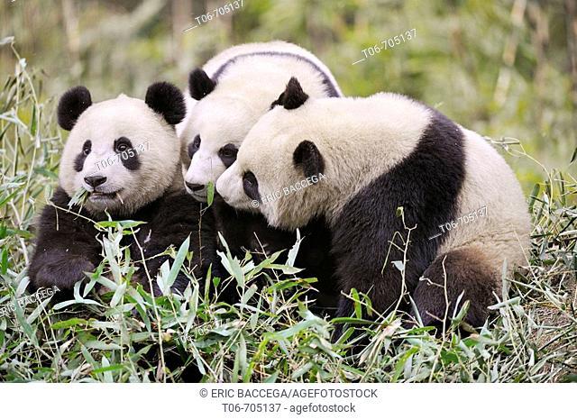 Three subadult giant pandas (Ailuropoda melanoleuca) Wolong Nature Reserve, China