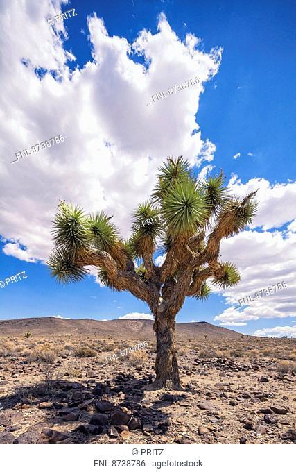 Joshua Tree, Death Valley, California, USA