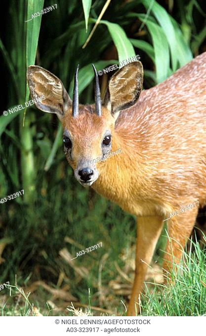 Cape Grysbok (Raphicerus melanotis), endemic to Western Cape. South Africa