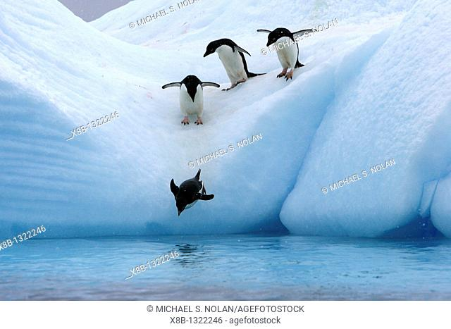 Adult Adelie penguins Pygoscelis adeliae lining up to leap off of an iceberg at Paulet Island in the Weddell Sea
