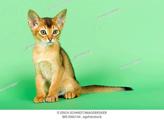 Abyssinian kitten, 9 weeks, ruddy