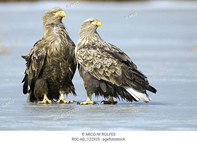 White-tailed Sea Eagles Mecklenburg-Western Pommerania Germany Haliaeetus albicilla