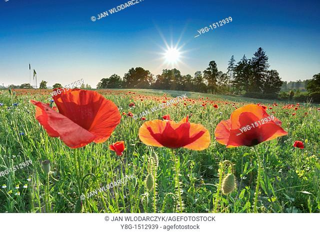 Meadow with blooming poppies near Slupsk, Poland, Europe