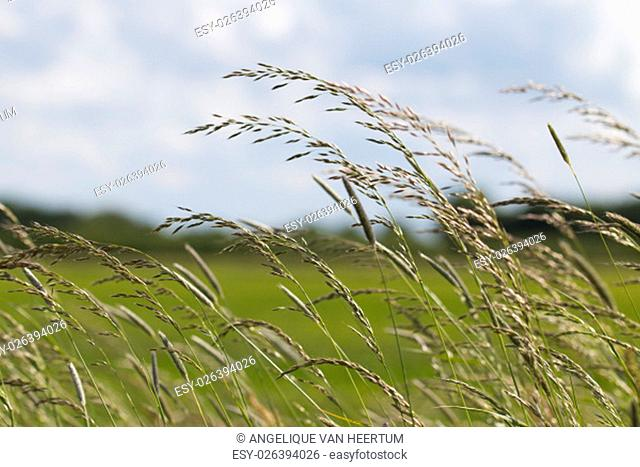 Long grass waving in the wind