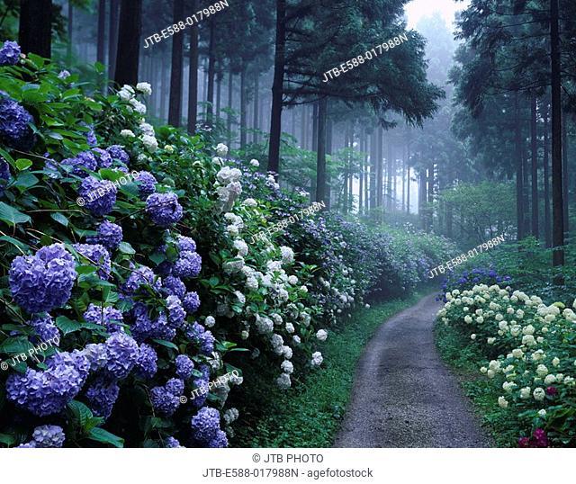 Fog, Michinoku hydrangea garden, flower, hydrangea, Ichinoseki, Iwate, Tohoku, Japan, July