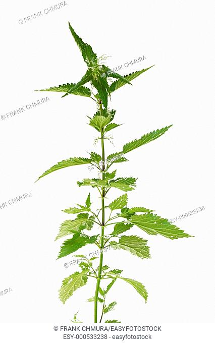 fresh and green nettle plant isolated on white backgound
