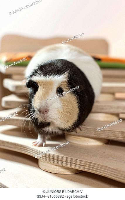 English Crested Guinea Pig, Cavie walking on a selfmade staircase. Germany