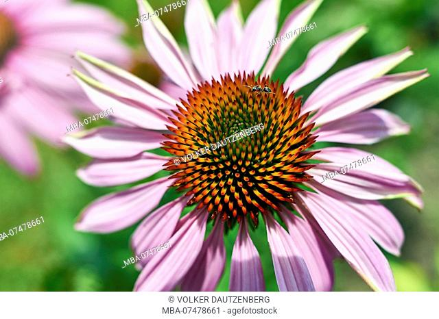 purple coneflower, blossom with ant, close-up