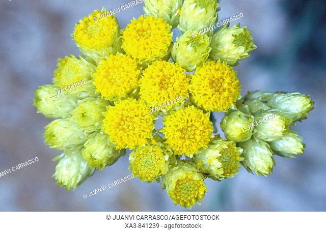 Everlasting flowers, Helichrysum stoechas