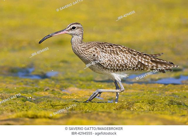 Eurasian Whimbrel (Numenius phaeopus), wading in a swamp, Qurayyat, Muscat Governorate