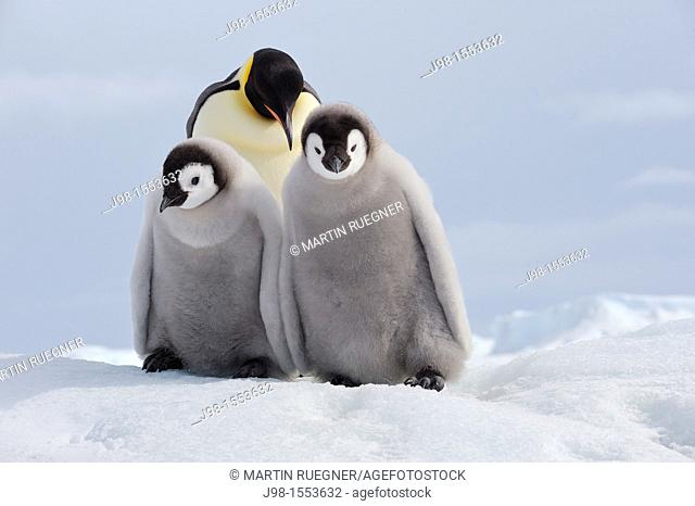 Emperor Penguin Aptenodytes forsteri, adult and chicks  Snow Hill Island, Antarctic Peninsula, Antarctica