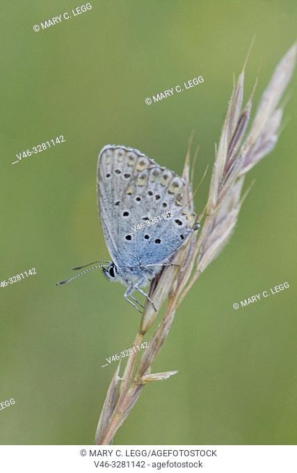 Idas Blue, Plebejus idas, Lycaeides idas. Blue butterfly with blue eyespots on the upper edge back wing. Larval plants include: Cytisus, Genista, Melilotus
