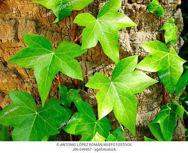 Creeping plant leaves, (Hedera helix)
