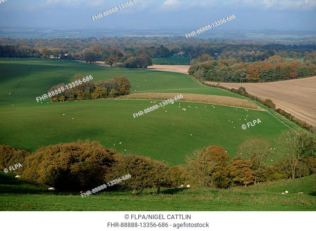 Sheep and autumnal landscape view of West Berkshire from high on the North Wessex Dows near Hungerford, November