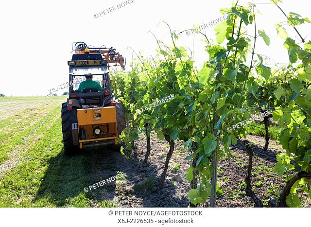 Raised branches of grape vines by mechanical means