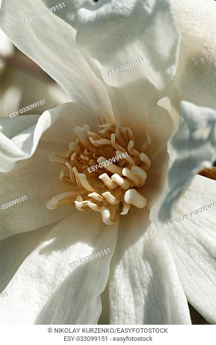 Spring snow hybrid magnolia flower (Magnolia x loebneri Spring Snow)