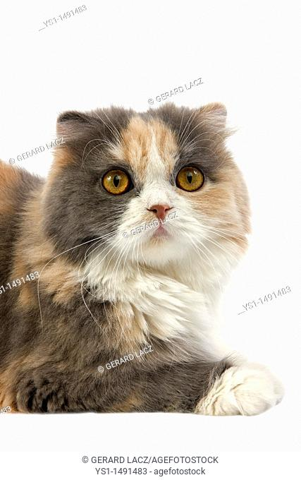 Blue Cream and White Highland Fold Domestic Cat, Female laying against White Background