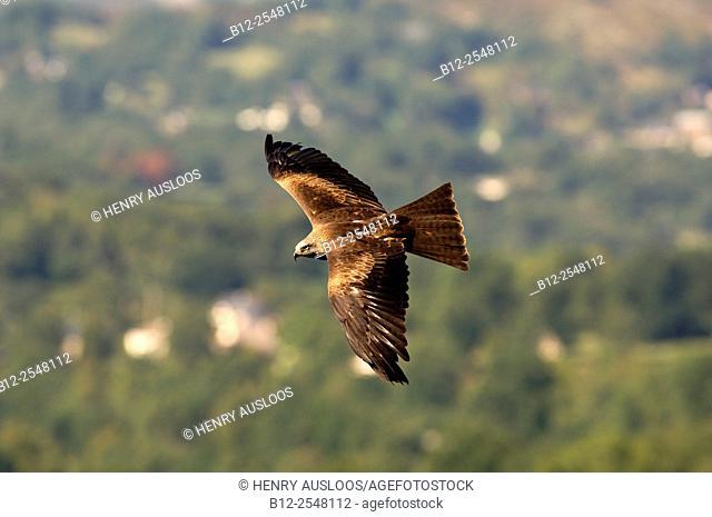 Black Kite (Milvus migrans), flight, France