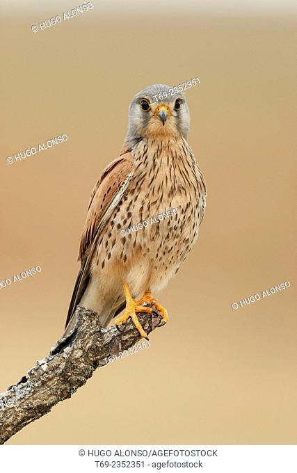 Common kestrel. Falco tinnunculus