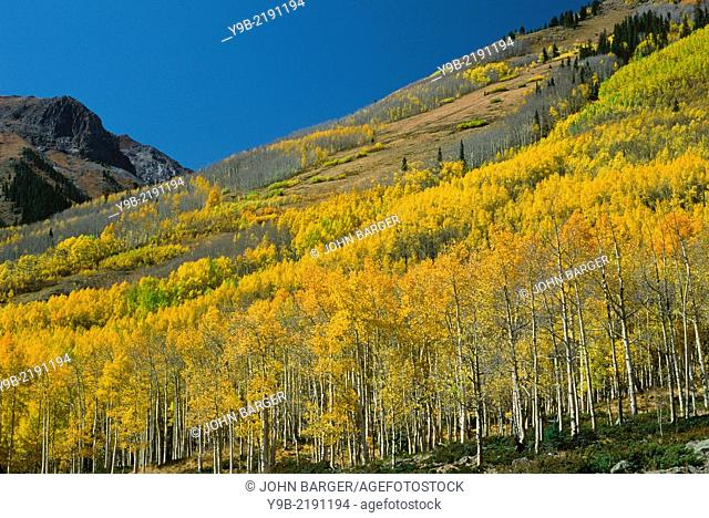 Aspen groves display fall color on hillside, Uncompahgre National Forest, southwest Colorado, USA