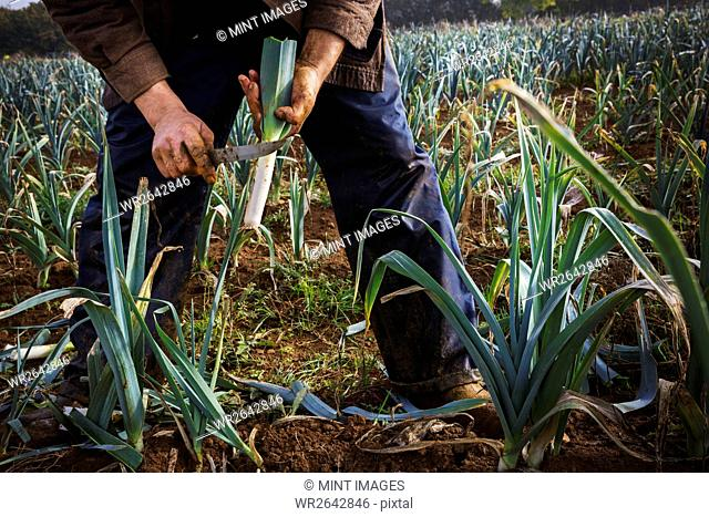 A man lifting fresh leeks from the soil and trimming the ends
