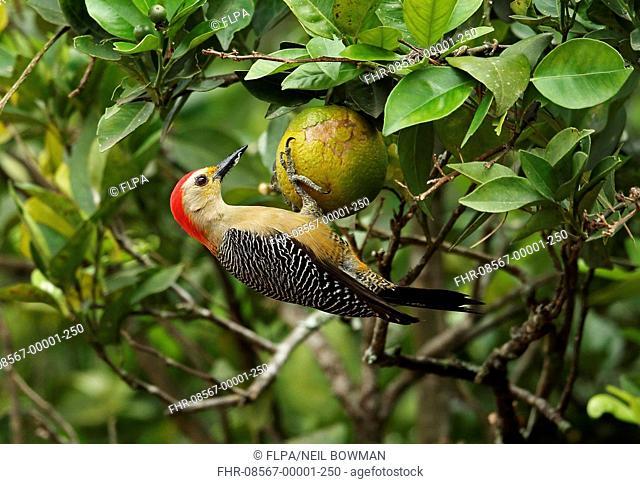 Velasquez's Woodpecker (Melanerpes santacruzi santacruzi) adult male, feeding on orange, Lake Yojoa, Honduras, February