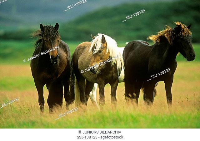 Icelandic horses - standing on meadow