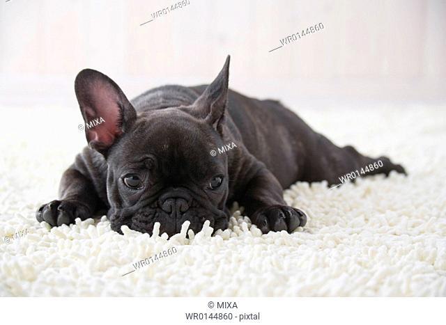 French bulldog sleeping on a rug mat