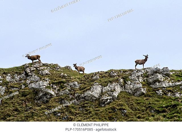 Three red deer stags (Cervus elaphus) with antlers covered in velvet on top of hill in the Scottish Highlands in spring, Scotland