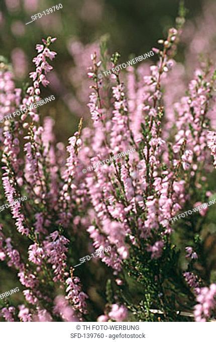 Flower Ling (Calluna vulgaris) outdoors