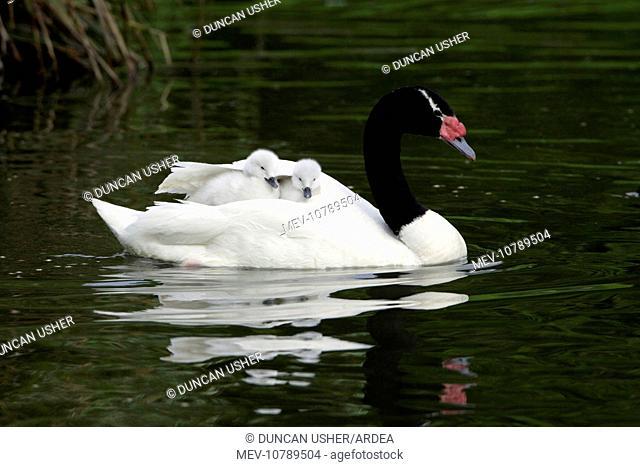 Black-necked Swan - parent bird transporting 2 cygnets on its back (Cygnus melanocoryphus)