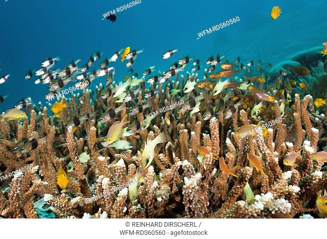 Coral Fishes over Reef, Raja Ampat, West Papua, Indonesia