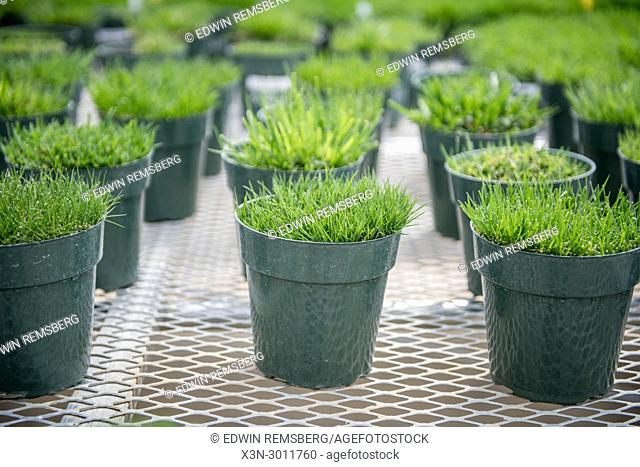 Plastic potters containing samples of turf grass, Tifton, Georgia. USA