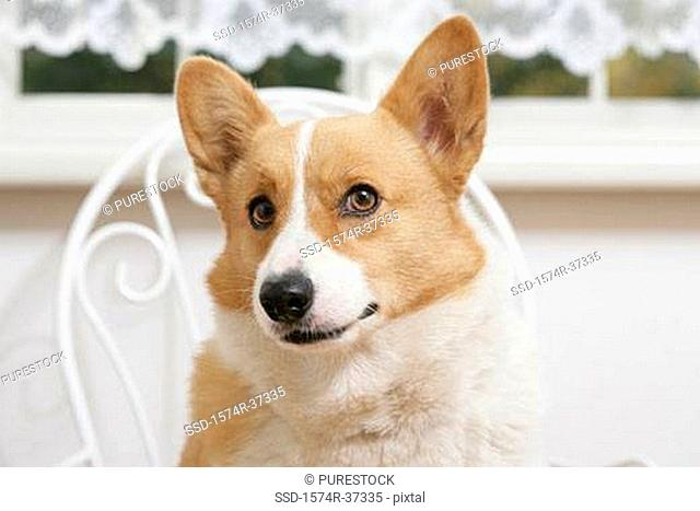 Close-up of a Welsh Corgi sitting on a chair