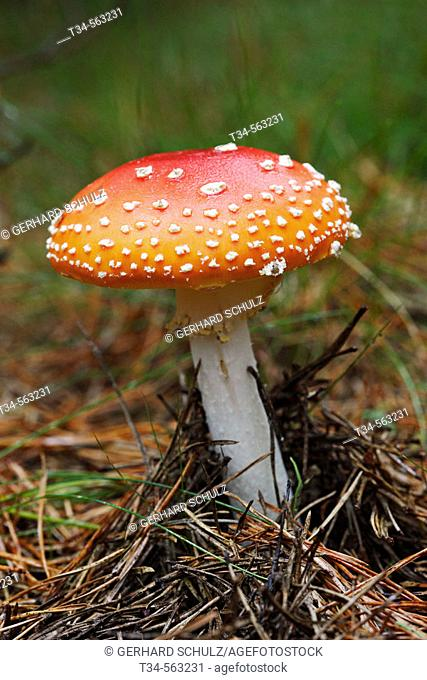 Fly Agaric (Red-Capped Toadstool). Amanita muscaria. Schleswig-Holstein, Germany