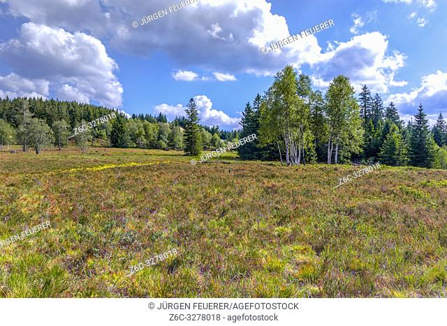 nearly treeless heather landscape with blooming Erica, Northern Black Forest, Germany, landform grinde between Schliffkopf and Zuflucht, community of Oppenau