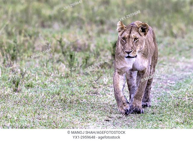 lioness walking to the pride in Masai Mara National Reserve, Kenya