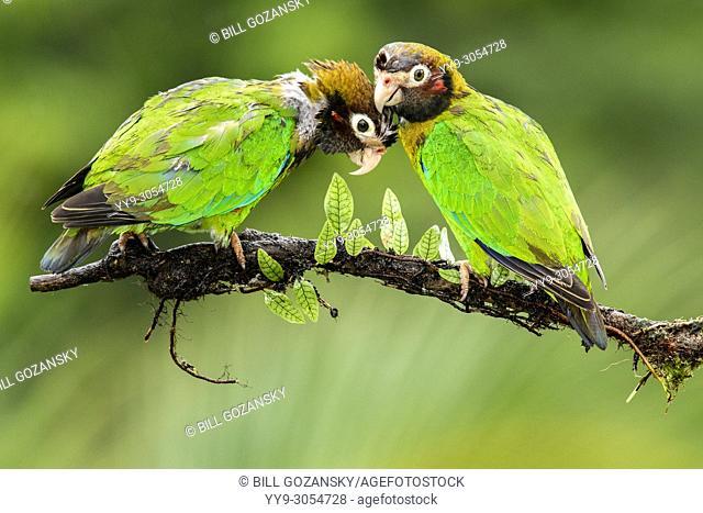 Brown-hooded Parrot (Pyrilia haematotis) couple - La Laguna del Lagarto Lodge, Boca Tapada, Costa Rica