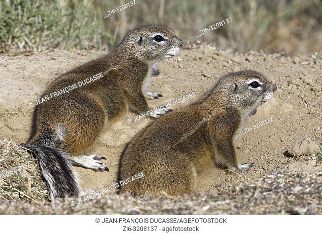 Cape ground squirrels (Xerus inauris), adults, looking out from the burrow entrance, Mountain Zebra National Park, Eastern Cape, South Africa, Africa