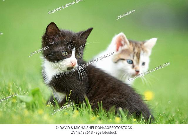 Close-up of two six weeks old domestic cat (Felis silvestris catus) kitten on a meadow in early summer
