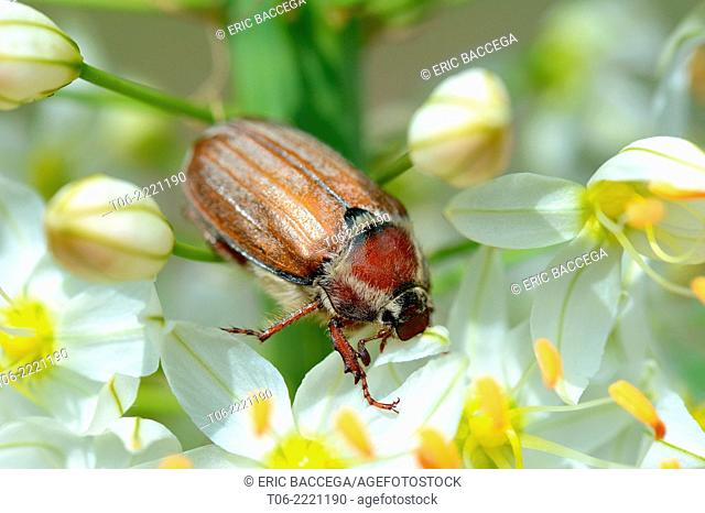 Cockchafer Beetle (Melolontha melolontha) on a foxtail lily (Eremurus robustus) Alsace, France