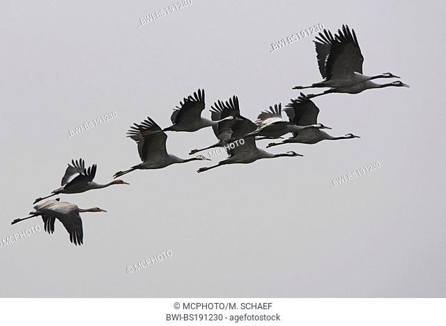 common crane (Grus grus), flying flock, Germany, Rhineland-Palatinate