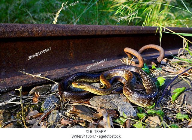 Aesculapian snake (Elaphe longissima, Zamenis longissimus), sunbathing at a railway track, Germany, Bavaria, Bavarian Forest National Park