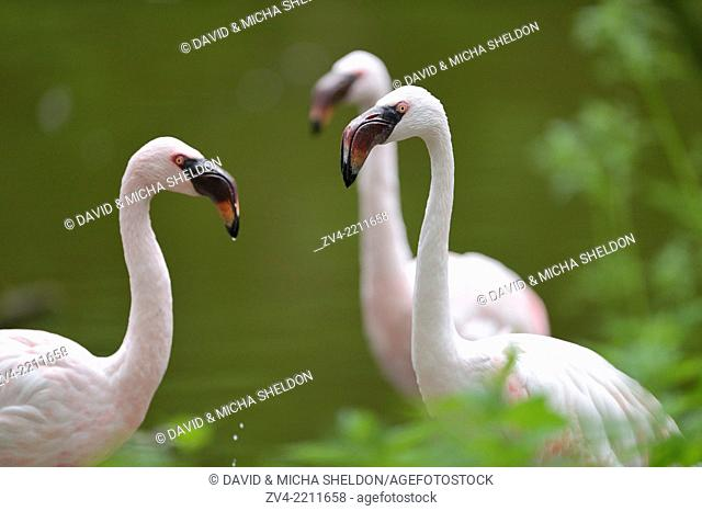 Close-up of a Lesser Flamingos (Phoenicopterus minor) in a little pond