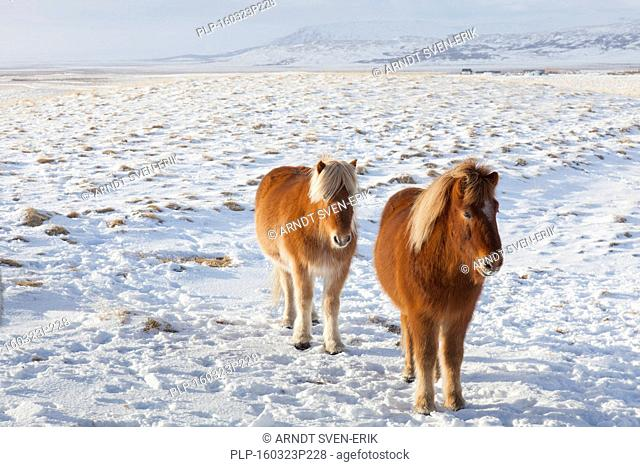 Two Icelandic horses (Equus ferus caballus / Equus Scandinavicus) in the snow in winter on Iceland