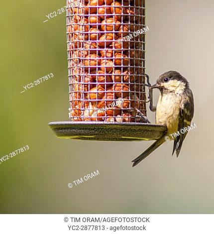 A Great Tit on peanut feeder (Parus major) in the Uk